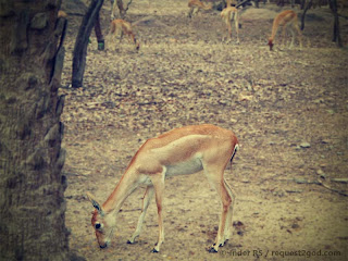 Female Black Buck deer grazing