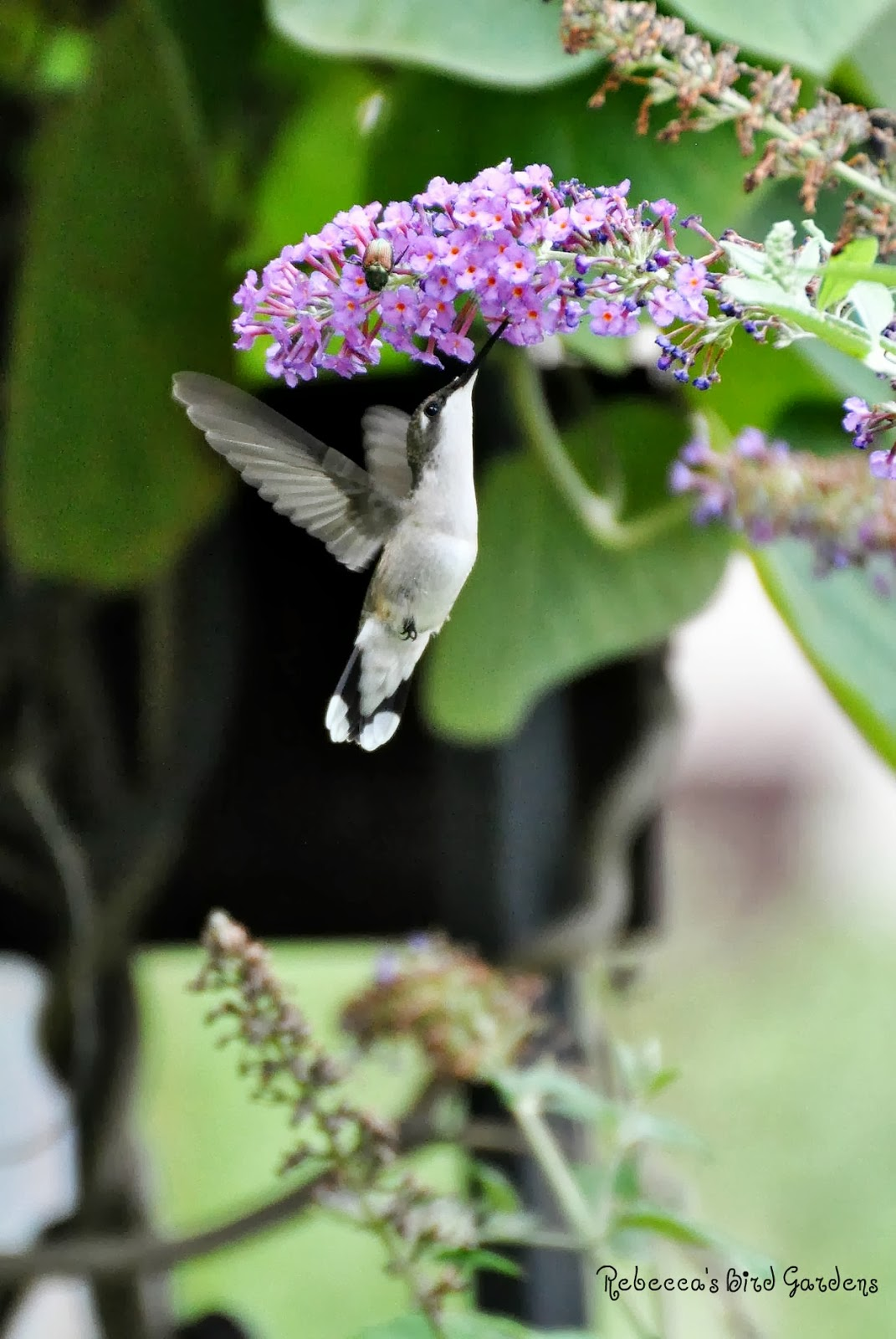 Female Ruby Throated Hummingbird   Butterfly Bush