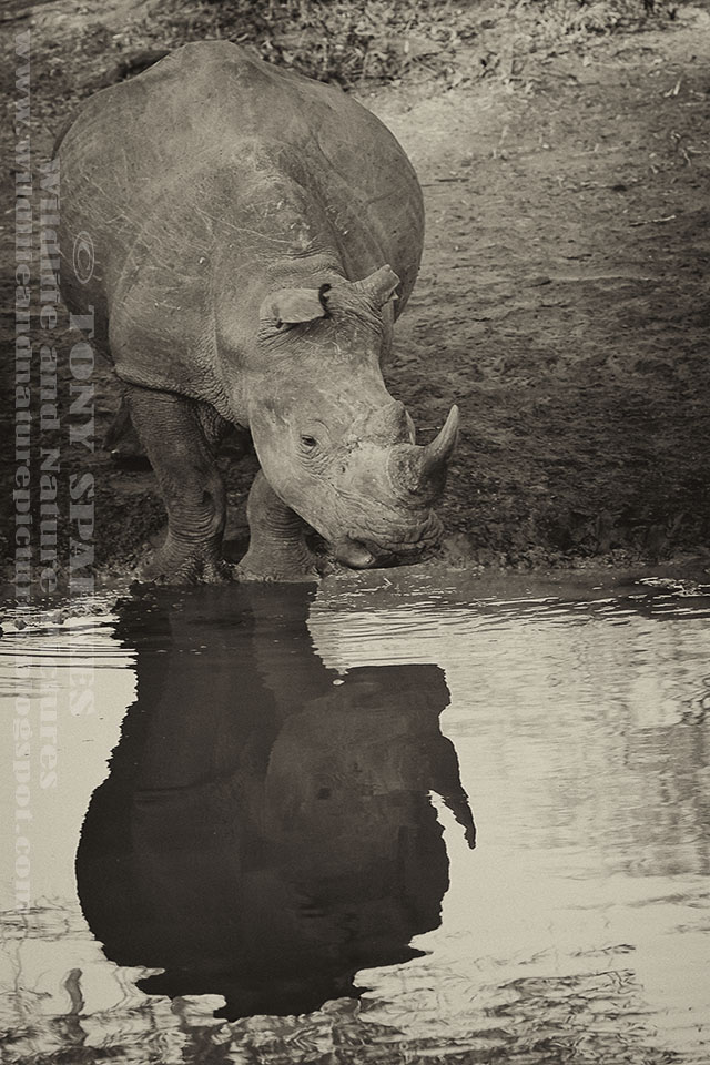 Picture of a White Rhinoceros (Ceratotherium simum) standing by a waterhole