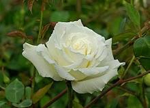 Rose is Herbert Stevens