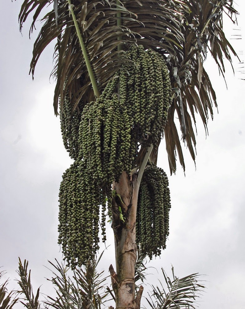 Pohon Enau atau aren