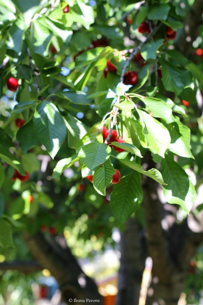 ciambella rustica alle ciliegie ( senza lattosio )