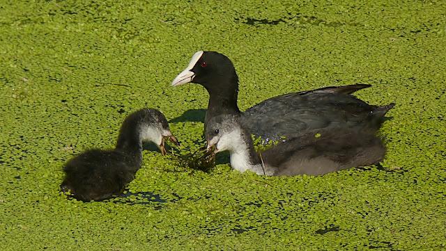 Fochas comiendo vegetación subacuática