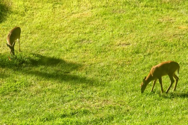 Whitetail deer (on left) eating newly planted lilac bush