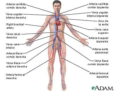 Anatomía Macroscópica: Sistema cardiovascular.