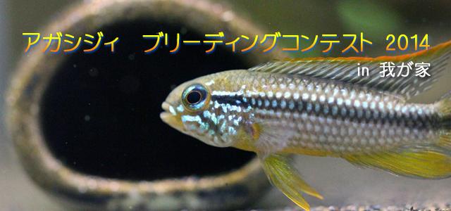 アガシジィ ブリーディングコンテスト 2014 in 我が家