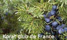 Genèvrier sabine et Genèvrier thurifère Juniperus sabine et Thurigère