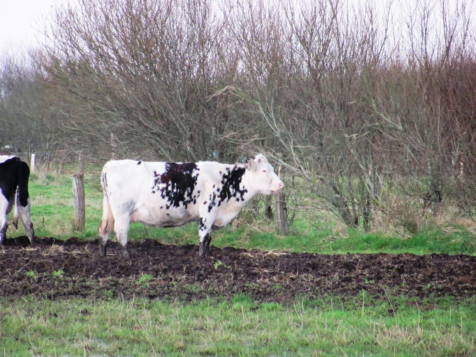 le bloc note de caro elle est belle la normande la vache normande. Black Bedroom Furniture Sets. Home Design Ideas