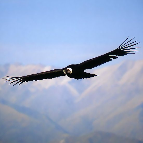 el condor en la cultura peruana - Taringa!