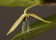 Orquídea nocturna
