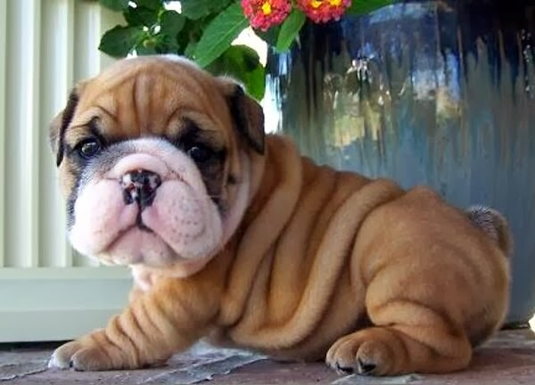 Cute dogs - part 4 (50 pics), dog pictures, cute bulldog puppy