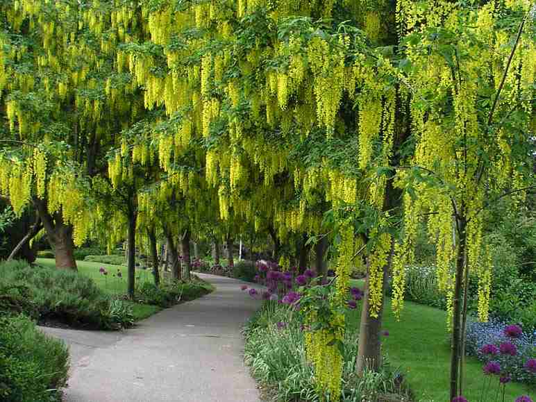 Plantwerkz golden shower tree cassia fistula for Plants and trees for small gardens