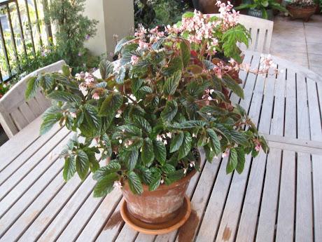 U402, a species and a pretty shrub begonia