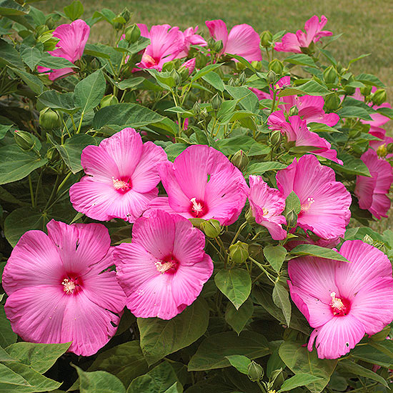 PINK HIBISCUS (photo cred: BHG)