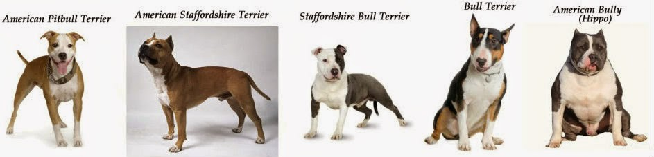 Pets n more the truth about the american pit bull terrier