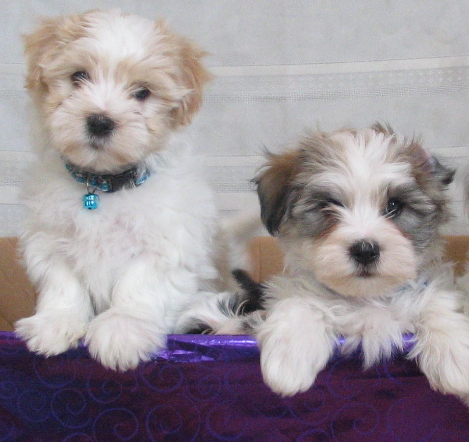 Toy Dog Puppies Pictures