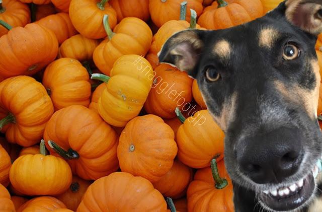 Can Dog Eat Pumpkin Bread
