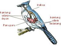 Pernafasan Burung