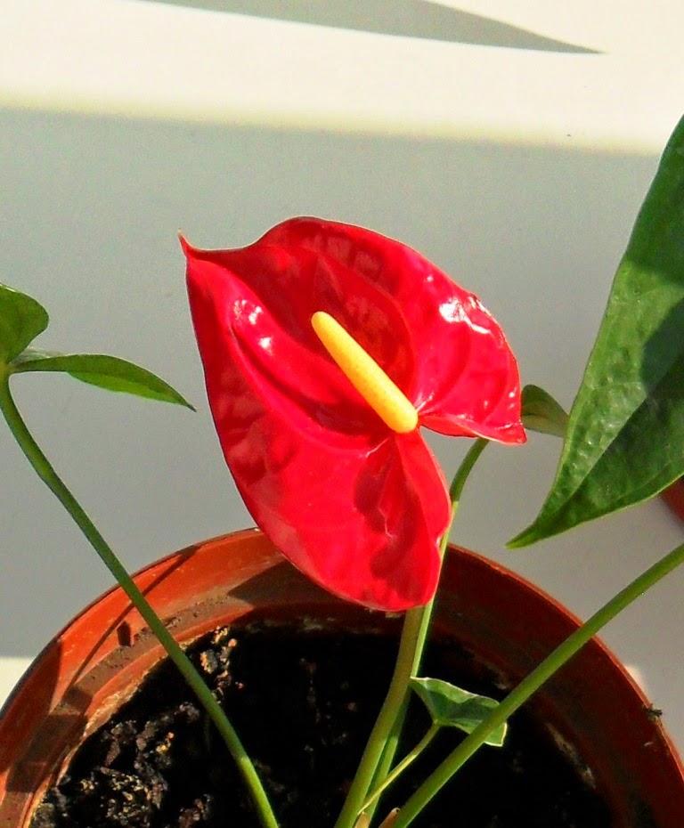 Цветет маленький антуриумчик! )))