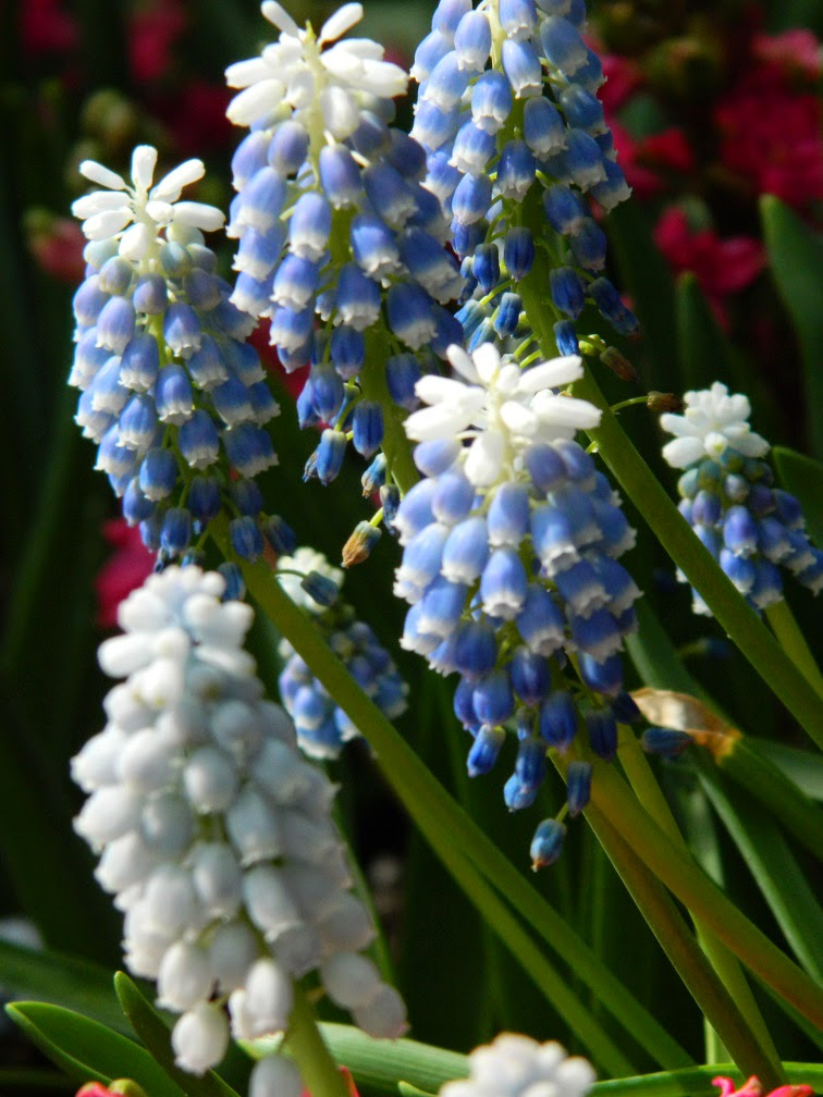 Grape hyacinths muscari Peppermint Centennial Park Conservatory 2015 Spring Flower Show by garden muses-not another Toronto gardening blog
