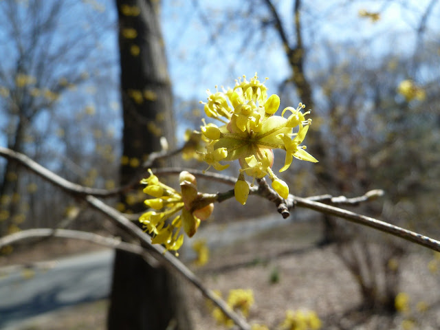 Cornelian Dogwood bloom, Prospect Park, Brooklyn