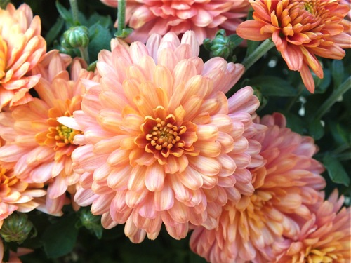 Live learn become fall flowers mums - Potted autumn flowers ...