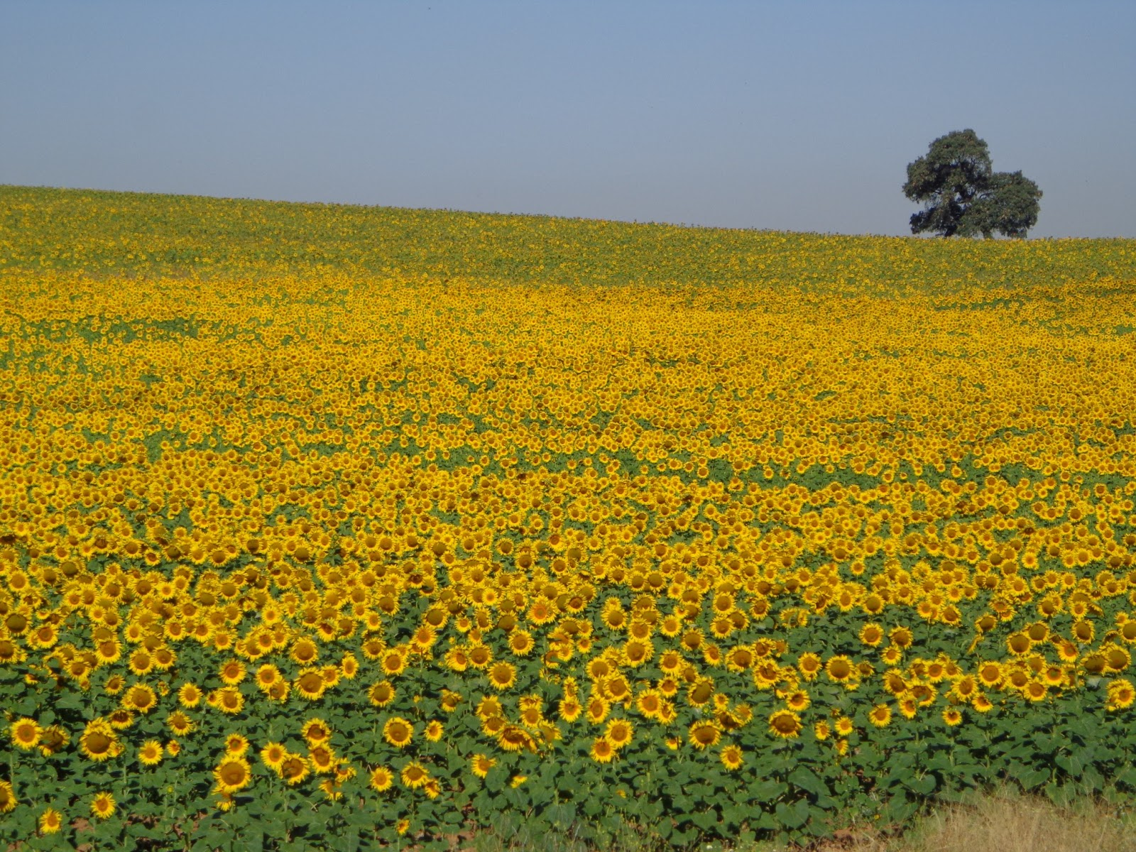 Allie In The South Of Spain Sunflowers In The South Of Spain