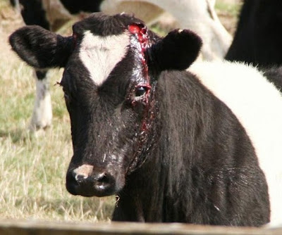 cow bleeding