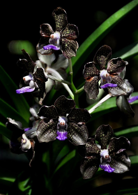 Black orchid Orchid flowers and Orchids on Pinterest