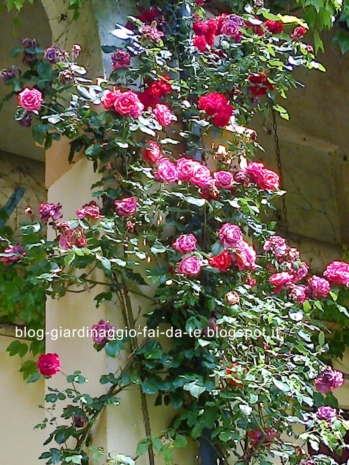 Outdoors gardening and landscape giardino e giardinaggio on pinterest courtyards boxwood - Rose coltivazione in giardino ...