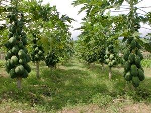 3 Fruits to Treat Typhoid