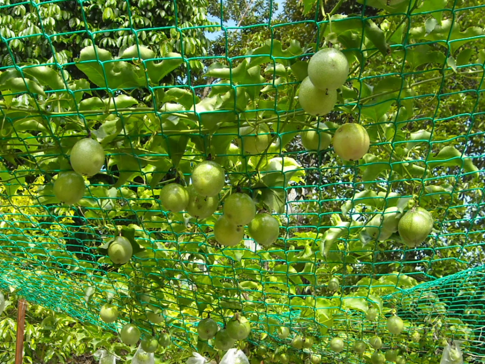 how to start a passion fruit farm
