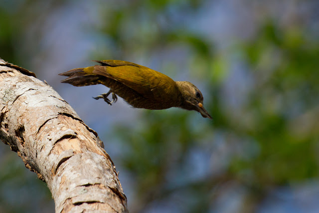 A photograph of a little woodpecker taken in the Pantanal in Brazil