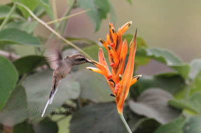 Buff-bellied Hermit, Heliconia psittacorum