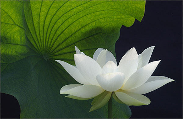 White lotus flower kamal ka phool artline feel the creation white lotus flower kamal ka phool mightylinksfo
