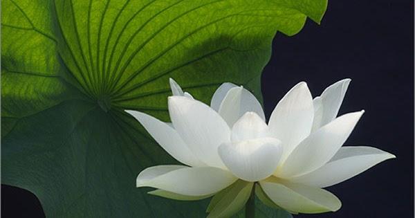 White Lotus Flower Kamal Ka Phool Artline Feel The