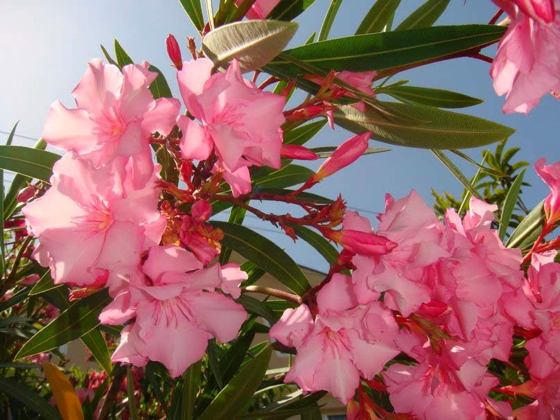 pink-delicate-flowers-pic