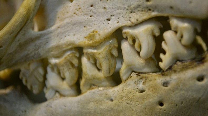 Los dientes diabólico de las focas cangrejeras