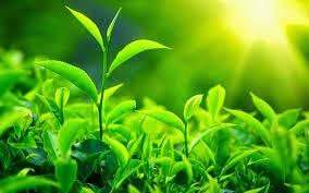 manfaat teh hijau bagi kecantikan tubuh