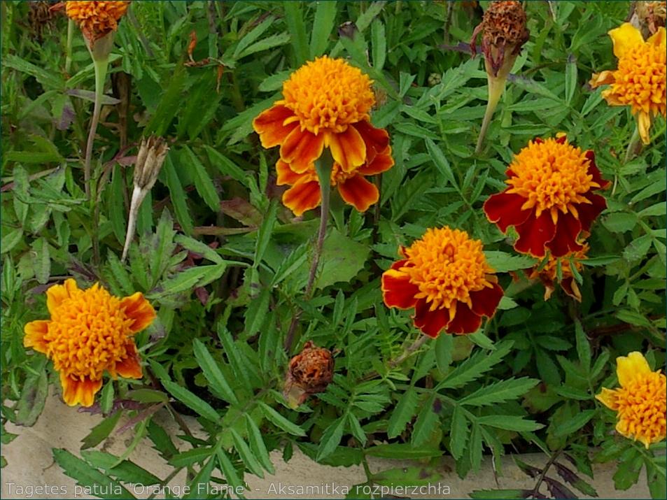 Tagetes patula 'Orange Flame' - Aksamitka rozpierzchła  kwiaty