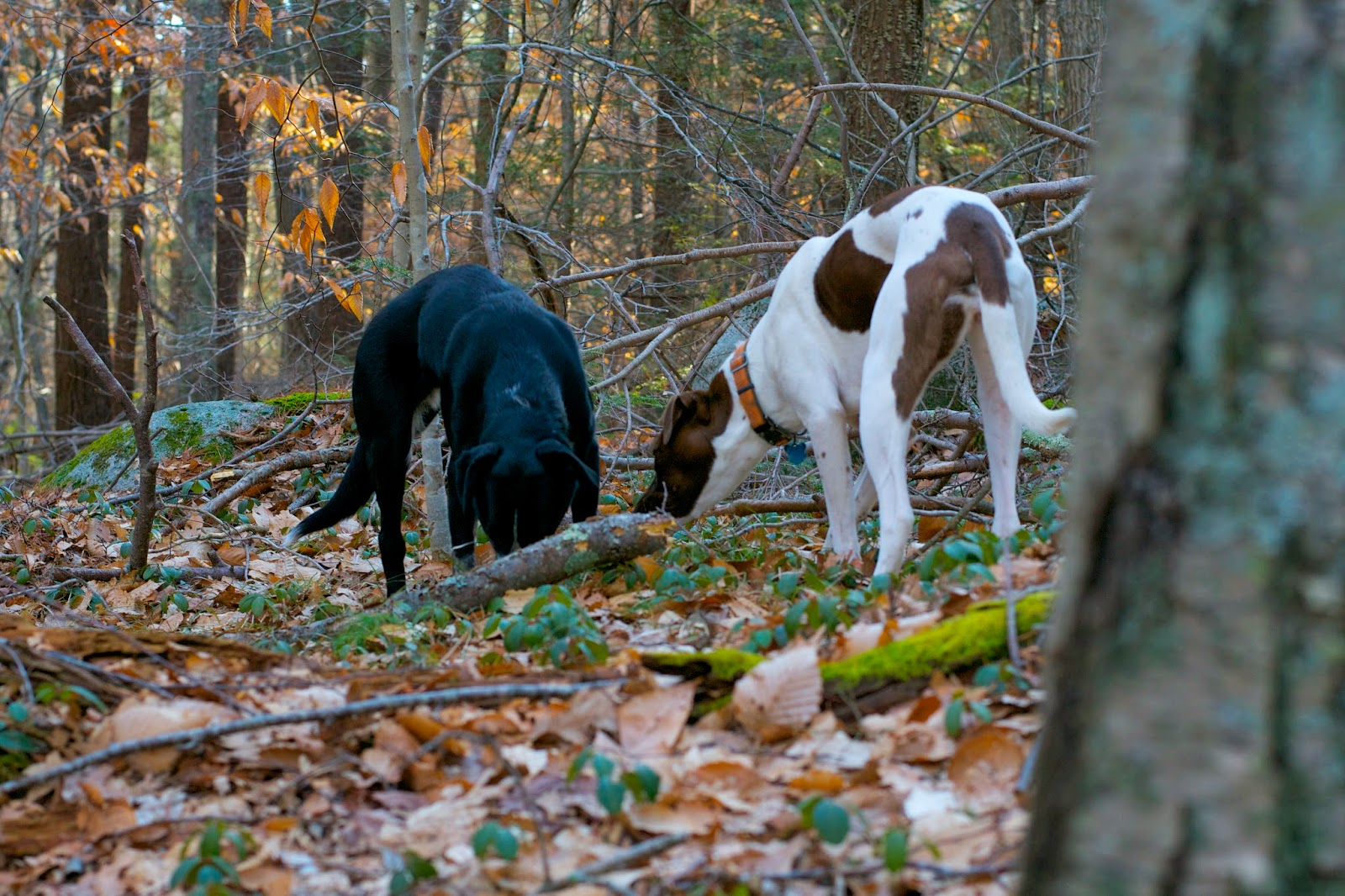 The pups sniffing for things in between their wild running spurts.