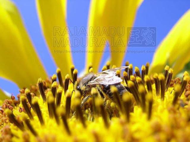 lebah Raja Madu Madu Raja memilih pollen