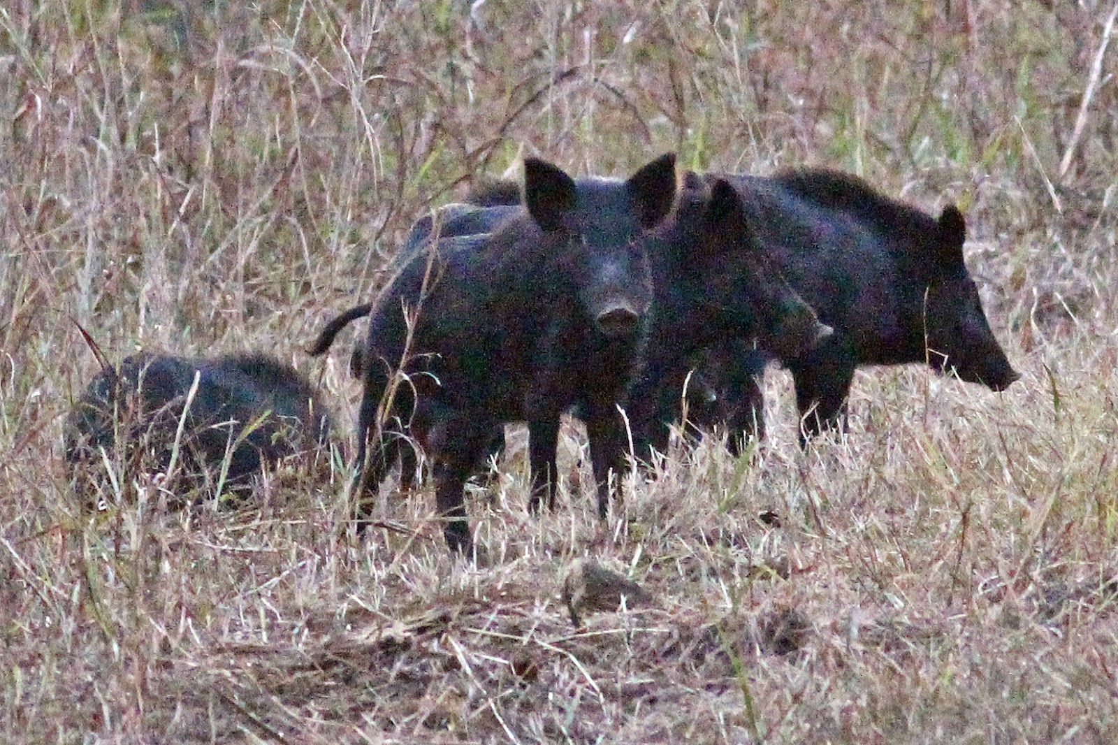 feral hogs Feral hunting: yes - there is a feral hog population in idaho, however, the government does not regulate feral hog hunting only a general hunting license is required and general hunting rules and regulations should be adhered to.