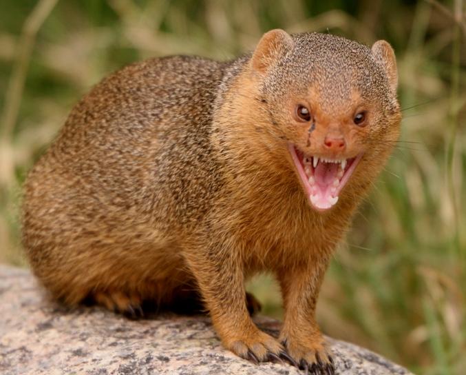 mongoose_3.jpg