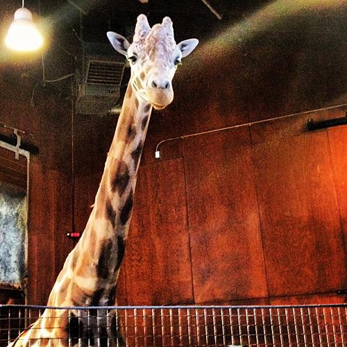 San Francisco Zoo - Giraffe - Floyd - NowThisLife.com