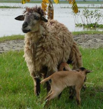 sheep, raising sheep, sheep farming, sheep rearing