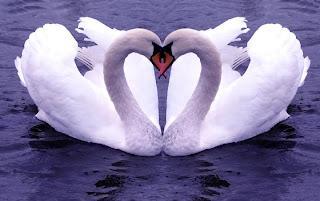 cisnes que forman corazón