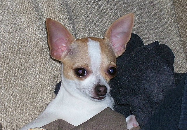 White Chihuahua Dogs With Brown Spots Lost: white female ...