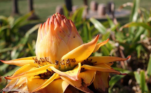 Chinese Yellow Banana Flowers Pictures