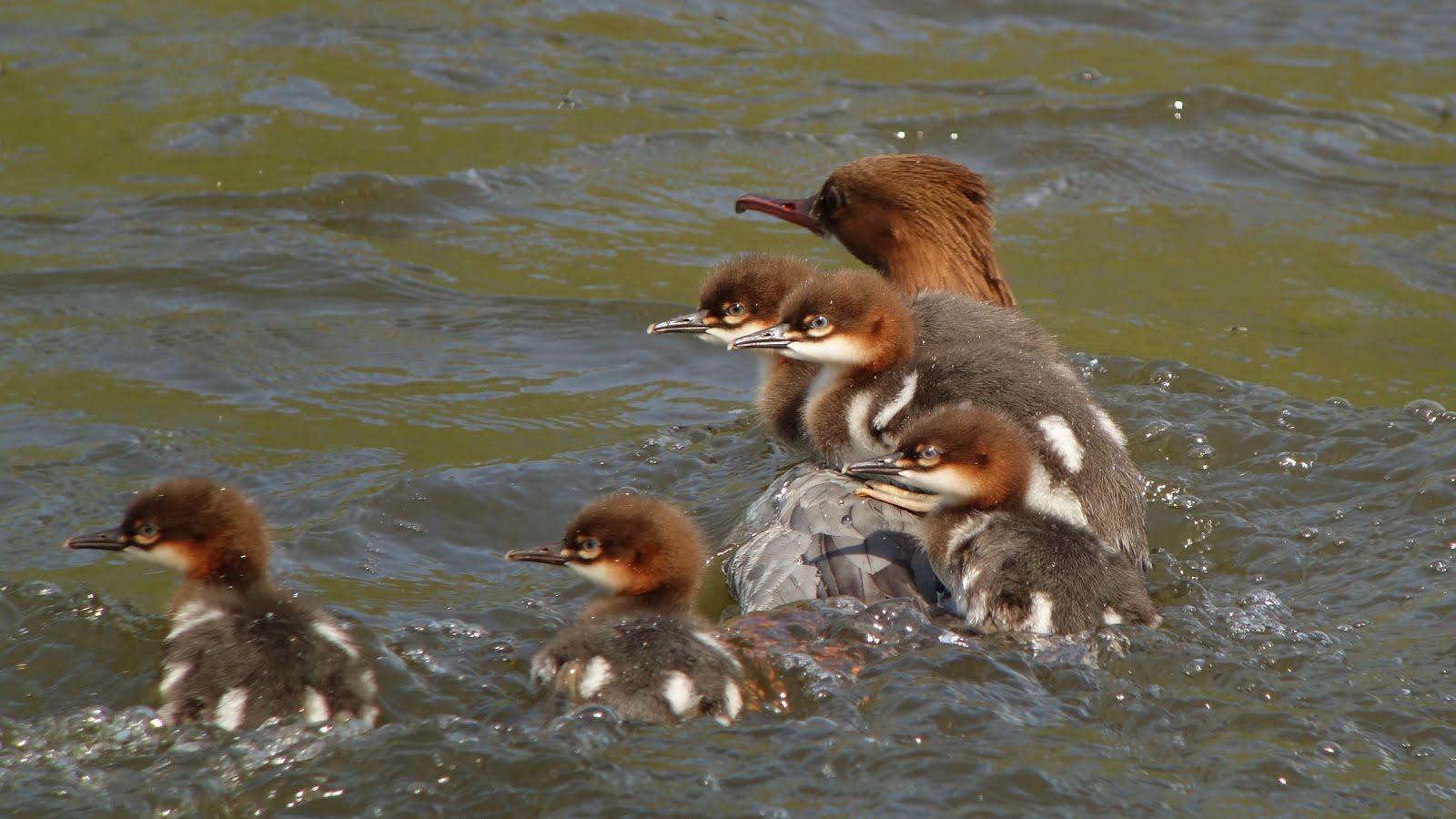 Goosander + chicks